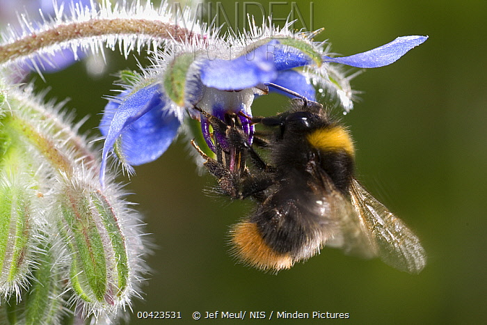 Buff-tailed Bumblebee (Bombus terrestris) foraging on Borage(Borago officinalis), Belgium  -  Jef Meul/ NIS