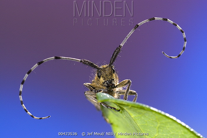 Golden-bloomed Grey Longhorn (Agapanthia villosoviridescens) sitting on a leaf, Belgium  -  Jef Meul/ NIS