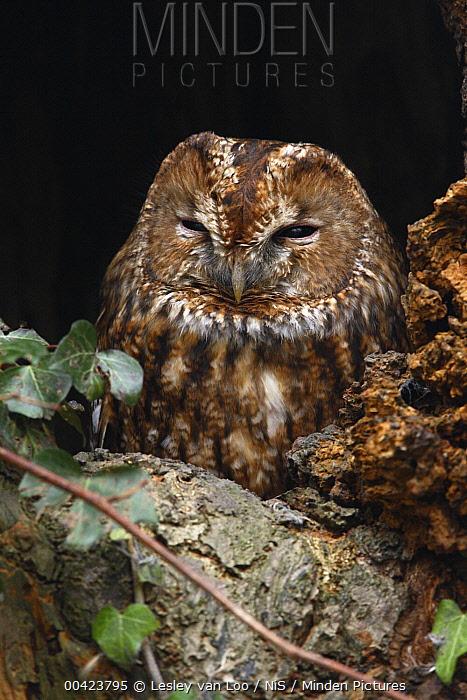 Tawny Owl (Strix aluco), Utrecht, Netherlands  -  Lesley van Loo/ NiS