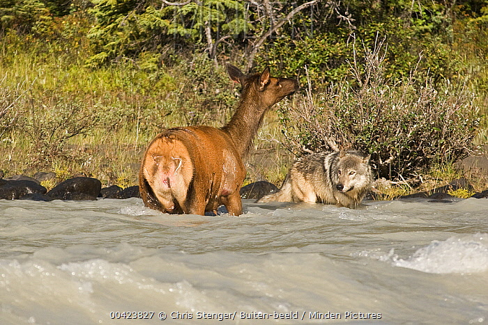 Elk (Cervus elaphus) attacked by Gray Wolf (Canis lupus) in the water, Banff National Park, Canada. Sequence 1 of 3  -  Chris Stenger/ Buiten-beeld