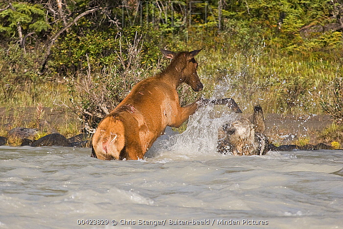 Elk (Cervus elaphus) attacked by Gray Wolf (Canis lupus) in the water, Banff National Park, Canada. Sequence 3 of 3  -  Chris Stenger/ Buiten-beeld