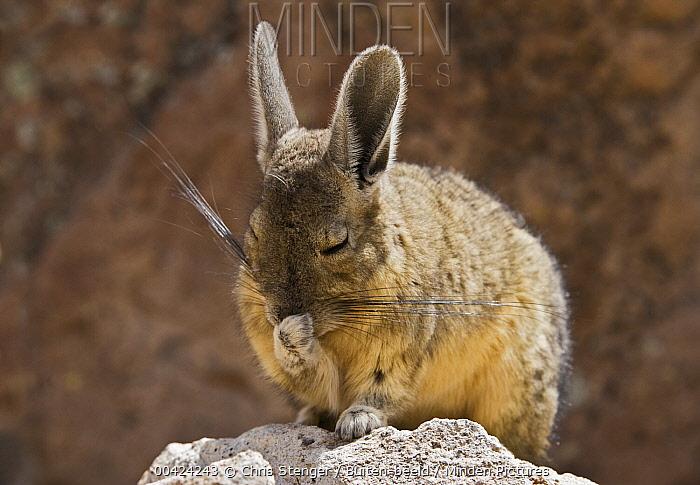 Southern Viscacha (Lagidium viscacia) grooming, Las Vicunas National Reserve, Chile  -  Chris Stenger/ Buiten-beeld