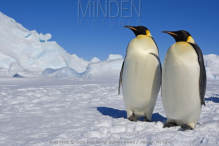 Emperor Penguin (Aptenodytes forsteri) pair on ice, Weddell Sea, Antarctica  -  Otto Plantema/ Buiten-beeld