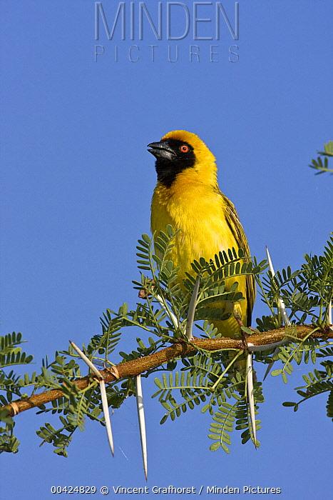 Masked-Weaver (Ploceus velatus) male calling, Mokolodi Nature Reserve, Botswana  -  Vincent Grafhorst