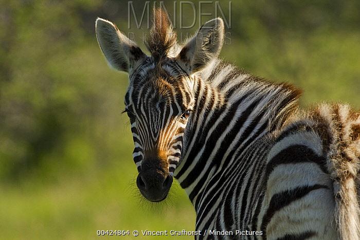 Zebra (Equus quagga) baby looking back, Khama Rhino Sanctuary, Serowe, Botswana  -  Vincent Grafhorst