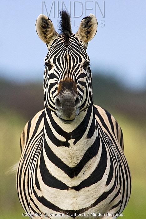Zebra (Equus quagga), Khama Rhino Sanctuary, Serowe, Botswana  -  Vincent Grafhorst