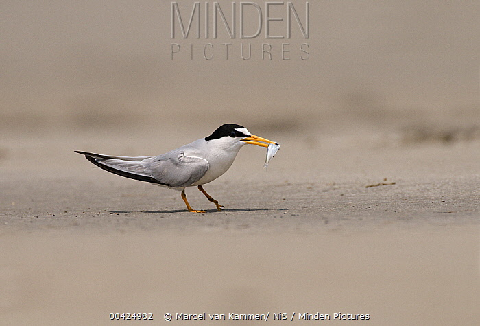Least Tern (Sterna antillarum) with prey, Texas  -  Marcel van Kammen/ NiS