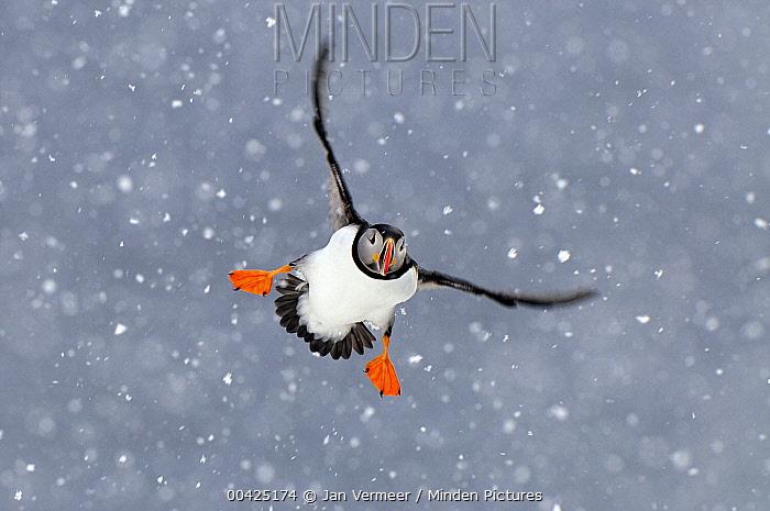 Atlantic Puffin (Fratercula arctica) flying in heavy snowfall, Norway  -  Jan Vermeer