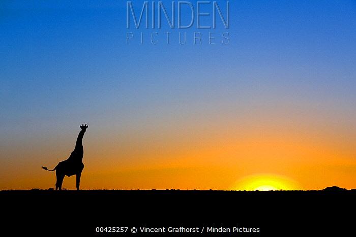 Southern Giraffe (Giraffa giraffa) silhouetted against the setting sun, Lethiau Valley, Central Kalahari Game Reserve, Botswana  -  Vincent Grafhorst