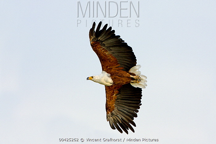 African Fish Eagle (Haliaeetus vocifer) flying, Moremi Game Reserve, Okavango Delta, Botswana  -  Vincent Grafhorst