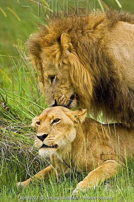 African Lion (Panthera leo) pair copulating, Moremi Game Reserve, Okavango Delta, Botswana  -  Vincent Grafhorst