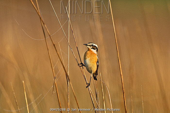Whinchat (Saxicola rubetra) on reed, Ukraine  -  Jan Vermeer