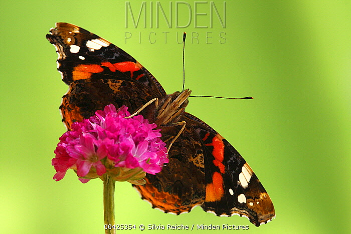 Red Admiral (Vanessa atalanta), Hoogeloon, Netherlands. Sequence 13 of 14  -  Silvia Reiche