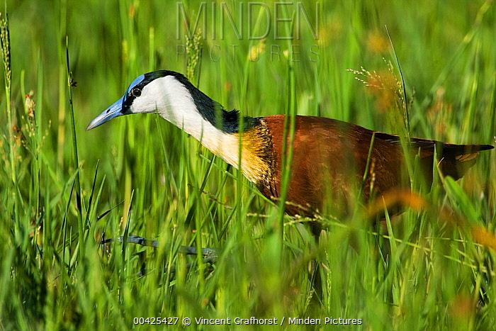 African Jacana (Actophilornis africana) foraging in high reeds in the Khwai River floodplain, Moremi Game Reserve, Okavango Delta, Botswana  -  Vincent Grafhorst