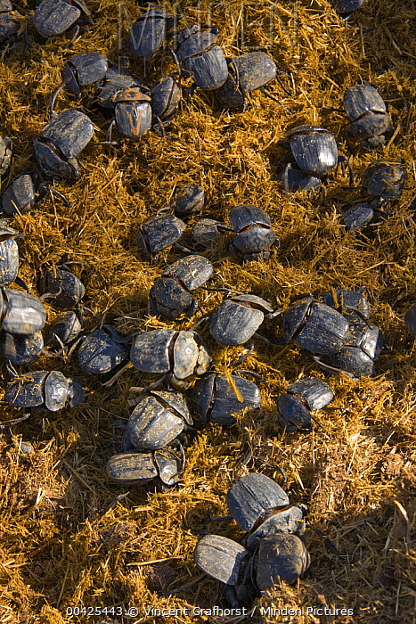 Dung Beetle (Kheper aegyptiorum) group on heap of dung, Khama Rhino Sanctuary, Serowe, Botswana  -  Vincent Grafhorst