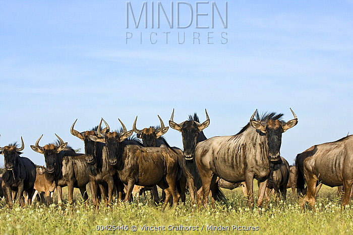 Blue Wildebeest (Connochaetes taurinus) herd, Khama Rhino Sanctuary, Serowe, Botswana  -  Vincent Grafhorst