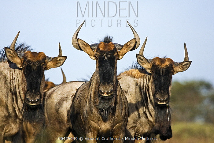 Blue Wildebeest (Connochaetes taurinus) trio, Khama Rhino Sanctuary, Serowe, Botswana  -  Vincent Grafhorst