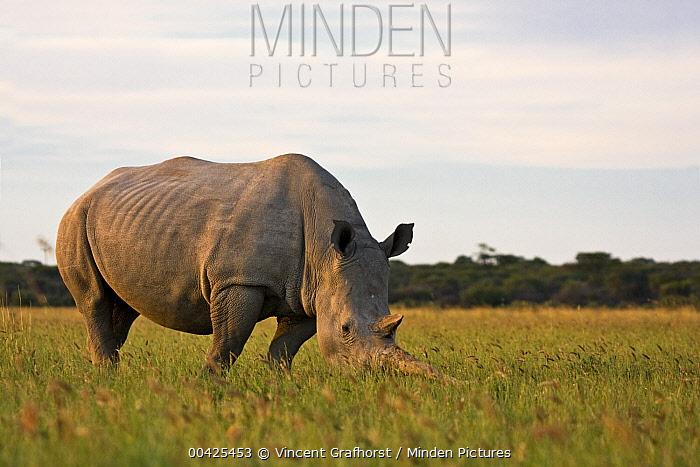 White Rhinoceros (Ceratotherium simum) grazing, Khama Rhino Sanctuary, Serowe, Botswana  -  Vincent Grafhorst
