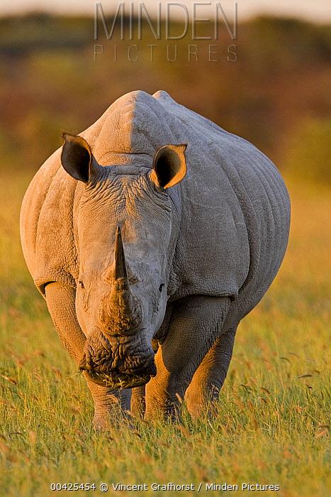 White Rhinoceros (Ceratotherium simum), Khama Rhino Sanctuary, Serowe, Botswana  -  Vincent Grafhorst