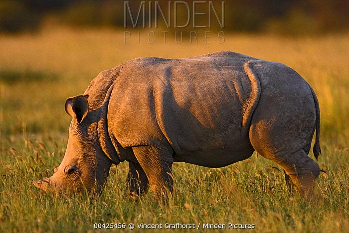 White Rhinoceros (Ceratotherium simum) baby grazing, Khama Rhino Sanctuary, Serowe, Botswana  -  Vincent Grafhorst
