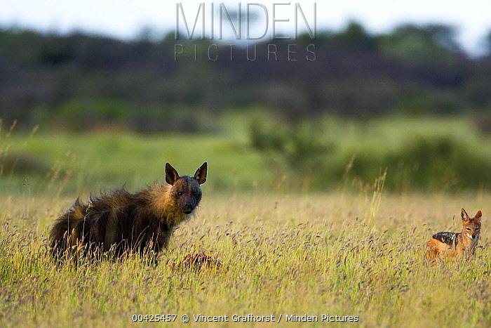 Brown Hyena (Hyaena brunnea) and Black-backed Jackal (Canis mesomelas) scavenging from carcass, Khama Rhino Sanctuary, Serowe, Botswana  -  Vincent Grafhorst