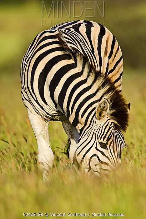 Zebra (Equus quagga) grazing, Khama Rhino Sanctuary, Serowe, Botswana  -  Vincent Grafhorst