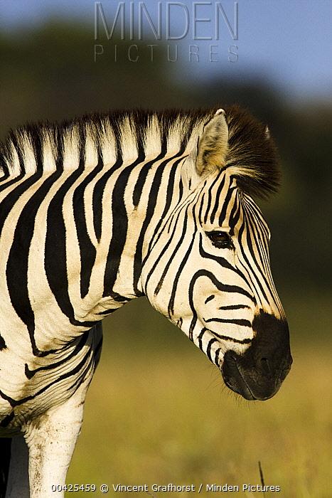 Zebra (Equus quagga) portrait, Khama Rhino Sanctuary, Serowe, Botswana  -  Vincent Grafhorst