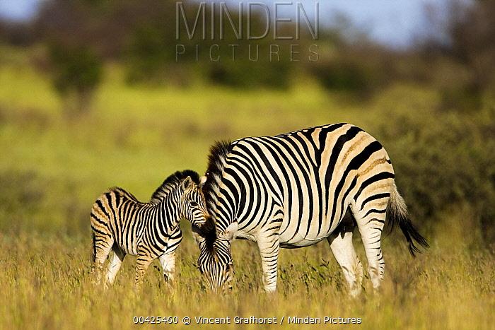 Zebra (Equus quagga) grazing with foal, Khama Rhino Sanctuary, Serowe, Botswana  -  Vincent Grafhorst