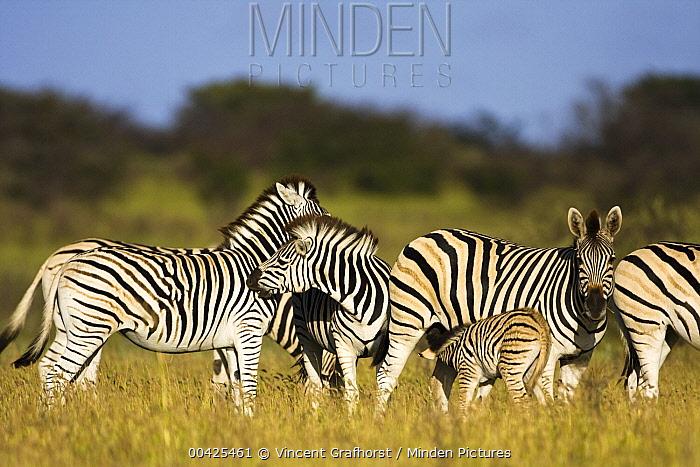 Zebra (Equus quagga) herd, Khama Rhino Sanctuary, Serowe, Botswana  -  Vincent Grafhorst