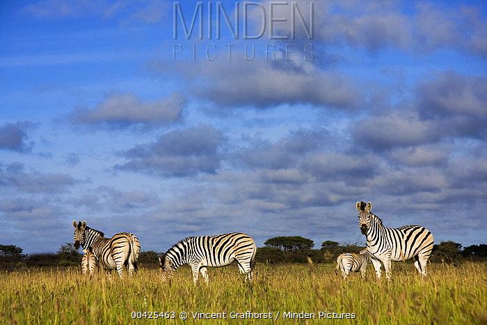 Zebra (Equus quagga) herd, seen from a low angle, Khama Rhino Sanctuary, Serowe, Botswana  -  Vincent Grafhorst