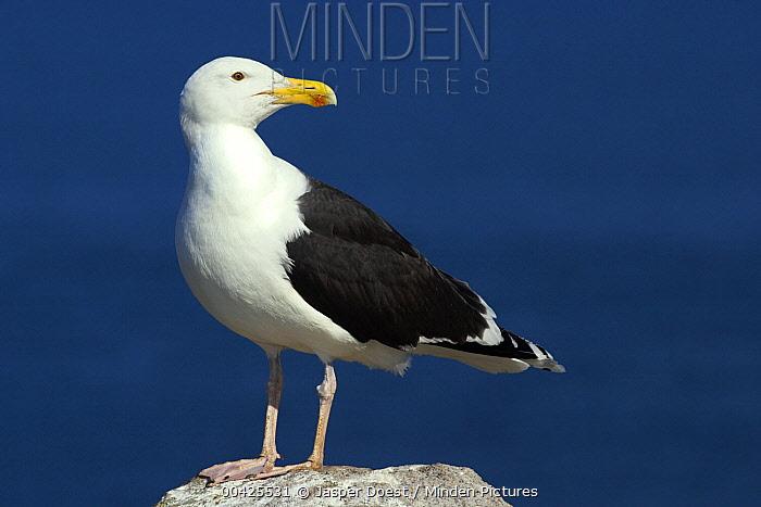 Great Black-backed Gull (Larus marinus), Saltee Island, Ireland  -  Jasper Doest