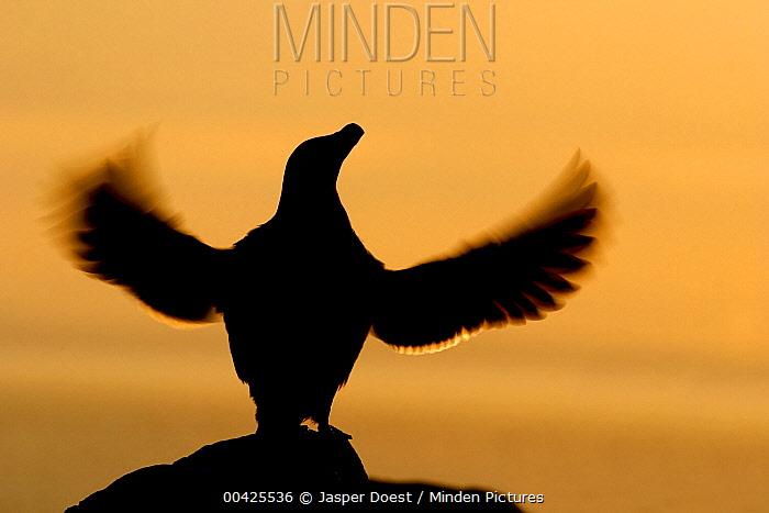 Razorbill (Alca torda) flapping its wings, Saltee Island, Ireland  -  Jasper Doest