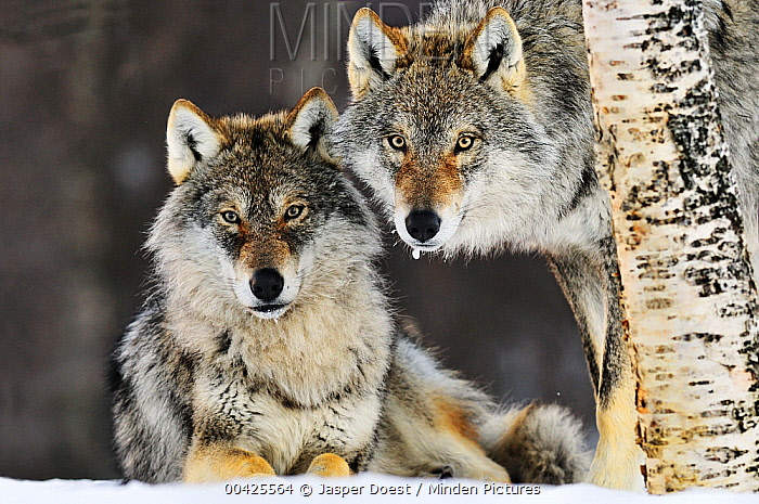 Gray Wolf (Canis lupus) pair in the snow, Norway  -  Jasper Doest