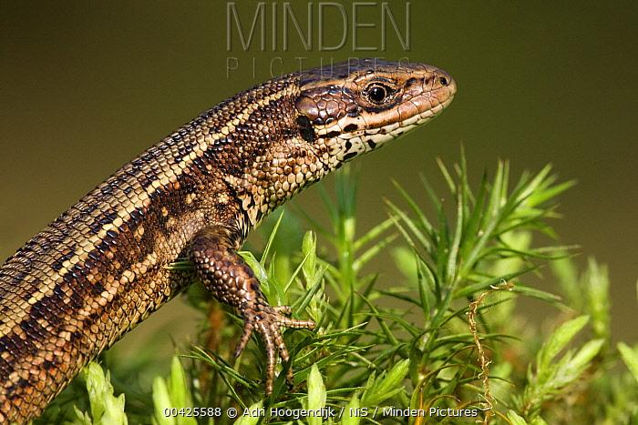 Viviparous Lizard (Zootoca vivipara) male on moss, Tatra National Park, Poland  -  Adri Hoogendijk/ Buiten-beeld