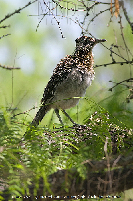 Greater Roadrunner (Geococcyx californianus), Texas  -  Marcel van Kammen/ NiS