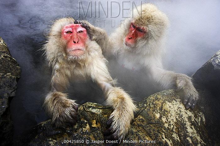 Japanese Macaque (Macaca fuscata) pair grooming in hot spring, Jigokudani, Japan  -  Jasper Doest