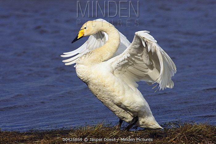 Whooper Swan (Cygnus cygnus) flapping its wings, Sweden  -  Jasper Doest