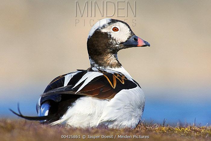 Long-tailed Duck (Clangula hyemalis) male, Svalbard, Norway  -  Jasper Doest