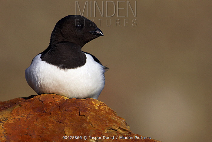 Little Auk (Alle alle), Svalbard, Norway  -  Jasper Doest