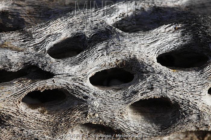 Cholla cactus skeleton, El Vizcaino Biosphere Reserve, Mexico  -  Cyril Ruoso