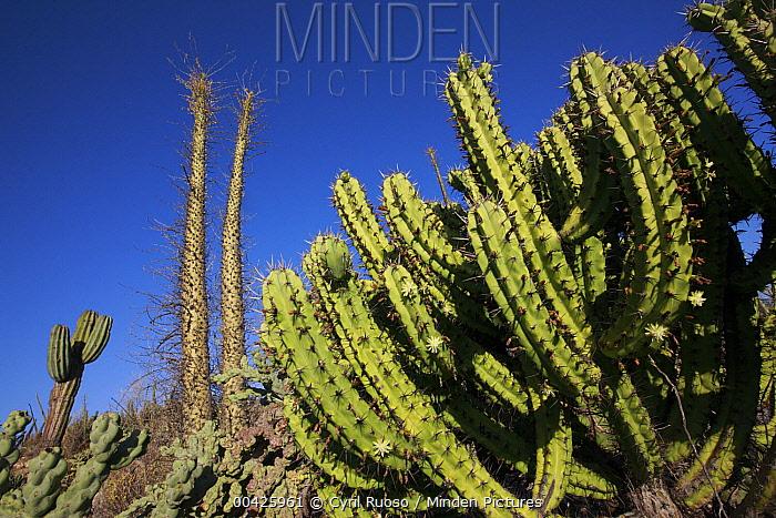 Organ Pipe Cactus (Stenocereus thurberi), El Vizcaino Biosphere Reserve, Mexico  -  Cyril Ruoso