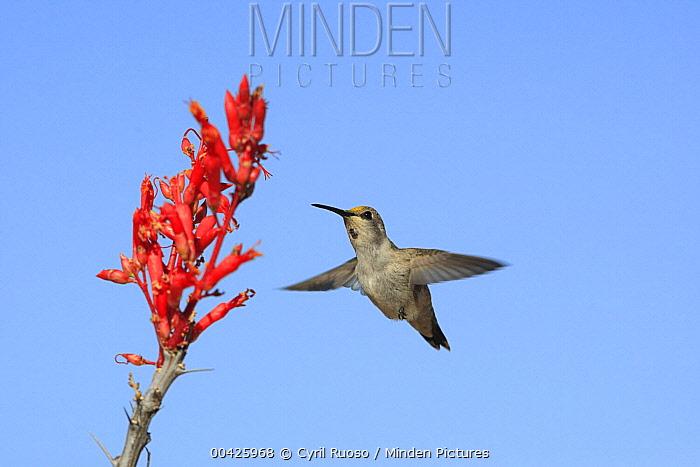 Black-chinned Hummingbird (Archilochus alexandri) visiting Ocotillo (Fouquieria splendens) cactus flowers, El Vizcaino Biosphere Reserve, Mexico  -  Cyril Ruoso