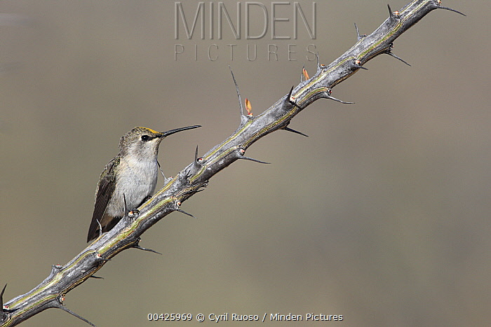Black-chinned Hummingbird (Archilochus alexandri) on Ocotillo (Fouquieria splendens) cactus, El Vizcaino Biosphere Reserve, Mexico  -  Cyril Ruoso