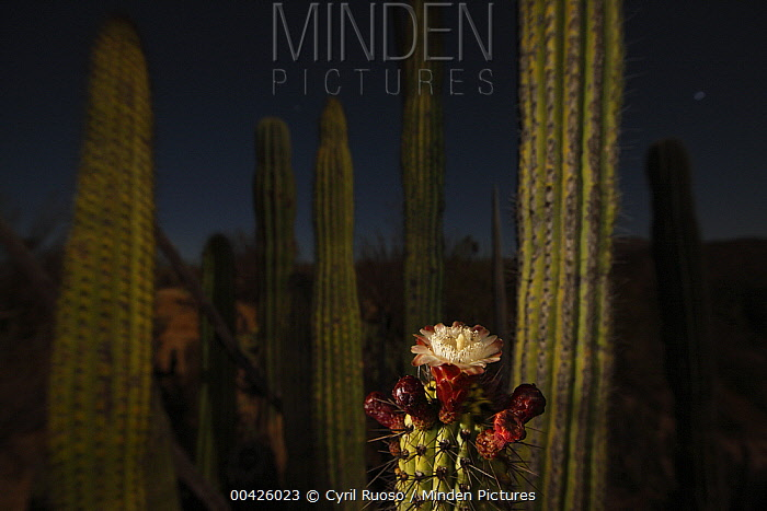 Organ Pipe Cactus (Stenocereus thurberi) by night with opened flower, El Vizcaino Biosphere Reserve, Mexico  -  Cyril Ruoso