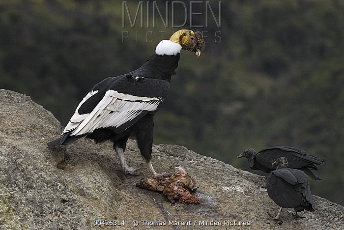 Andean Condor (Vultur gryphus) male with American Black Vultures (Coragyps atratus) trying to scavenge carrion, Purace National Park, Colombia  -  Thomas Marent