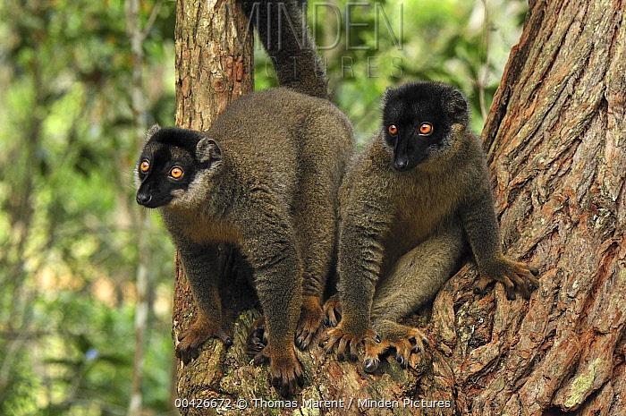 Common Brown Lemur (Eulemur fulvus) pair, Andasibe-Mantadia National Park, Madagascar  -  Thomas Marent