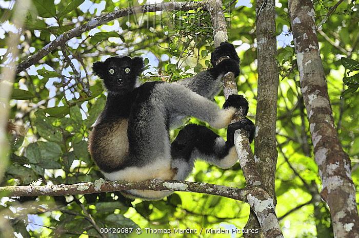 Indri (Indri indri) sitting in tree, Andasibe-Mantadia National Park, Madagascar  -  Thomas Marent