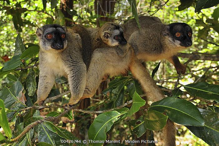 Common Brown Lemur (Eulemur fulvus) trio in trees, Andasibe-Mantadia National Park, Madagascar  -  Thomas Marent