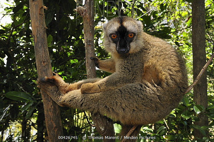 Common Brown Lemur (Eulemur fulvus), Andasibe-Mantadia National Park, Madagascar  -  Thomas Marent
