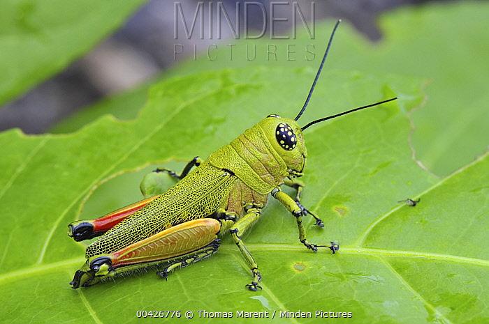 Grasshopper (Acrididae), Masoala National Park, Madagascar  -  Thomas Marent